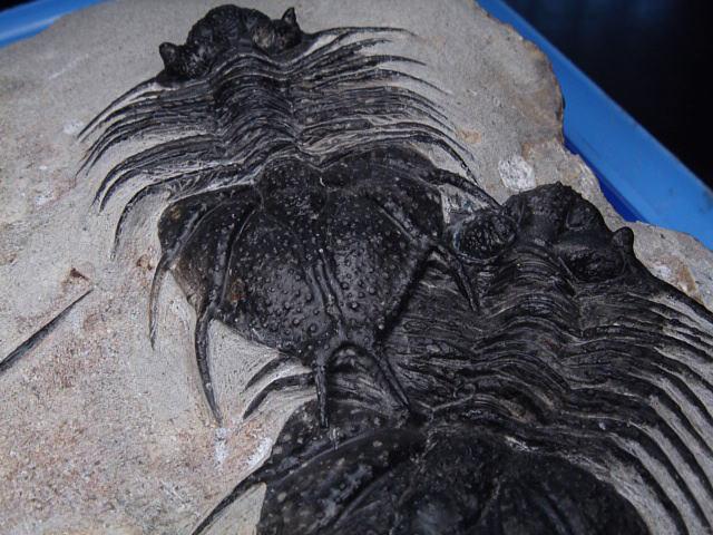 三葉虫の化石(写真) 化石ギャラリー|三葉虫の化石 三葉虫の化石 アカントピゲ 古生代デボン紀